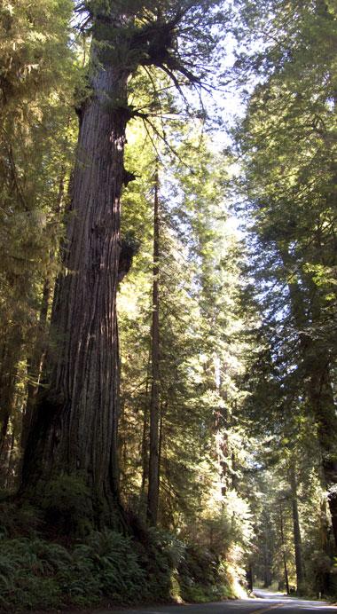 032909_redwoods.jpg